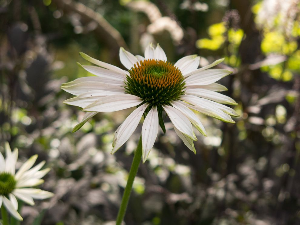 30 Inch Refrigerator with Water Dispenser    Landscape Also Coneflower Fall Fragrance Fragrant Angel Echinacea