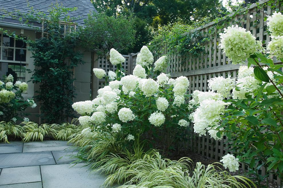 Aztec Grass   Traditional Landscape  and Grasses Hydrangeas Lattice Patio Trellis White Flowers Wood Fence