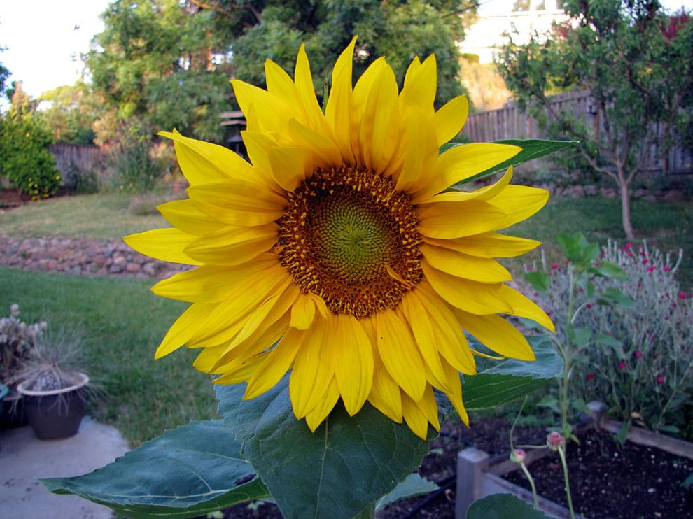 Sunflower $style In $location