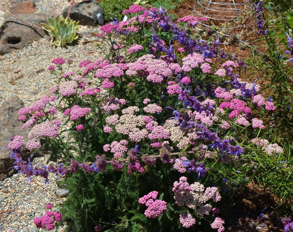 California King Quilts    Landscape  and Achillea Millefolium California Native Plant Native California Plant Trichostema Lanatum Woolly Blue Curls Yarrow
