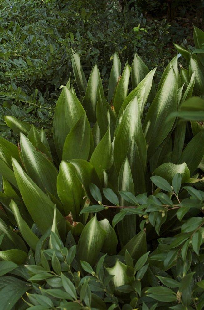 Cast Iron Headboard with  Landscape  and Aspidistra Cast Iron Plant Evergreen Variegated Foliage