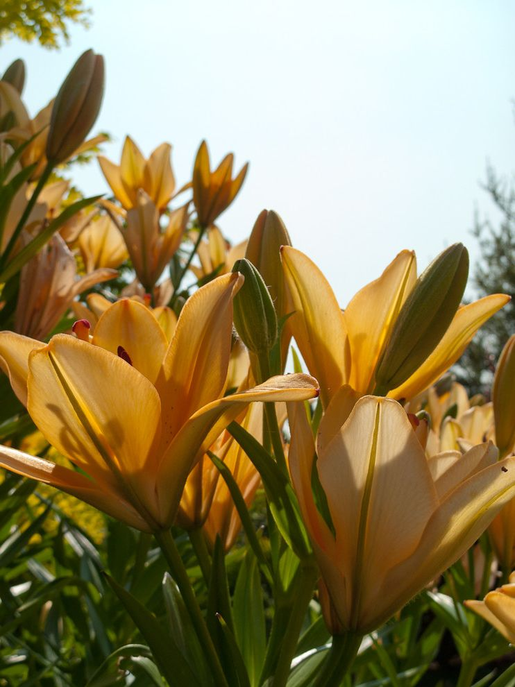 Difference Between Queen and Full   Traditional Landscape Also Fragrance Oriental Lilies