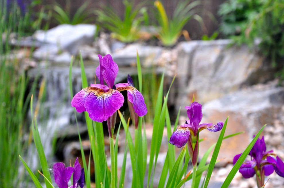 How Long Do Box Springs Last   Traditional Landscape Also Iris Pond Small Yard Water Feature