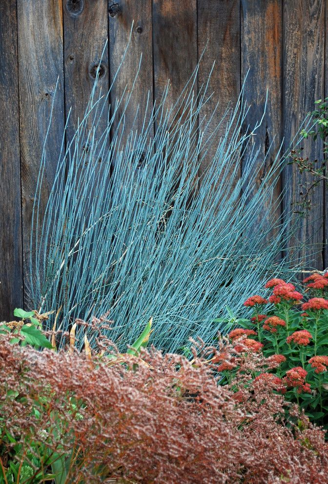 How to Get Rid of Mosquito Hawks   Contemporary Landscape Also Bluestem Joint Fir Drought Tolerant Ephedra Equisetina Evergreen Shrub