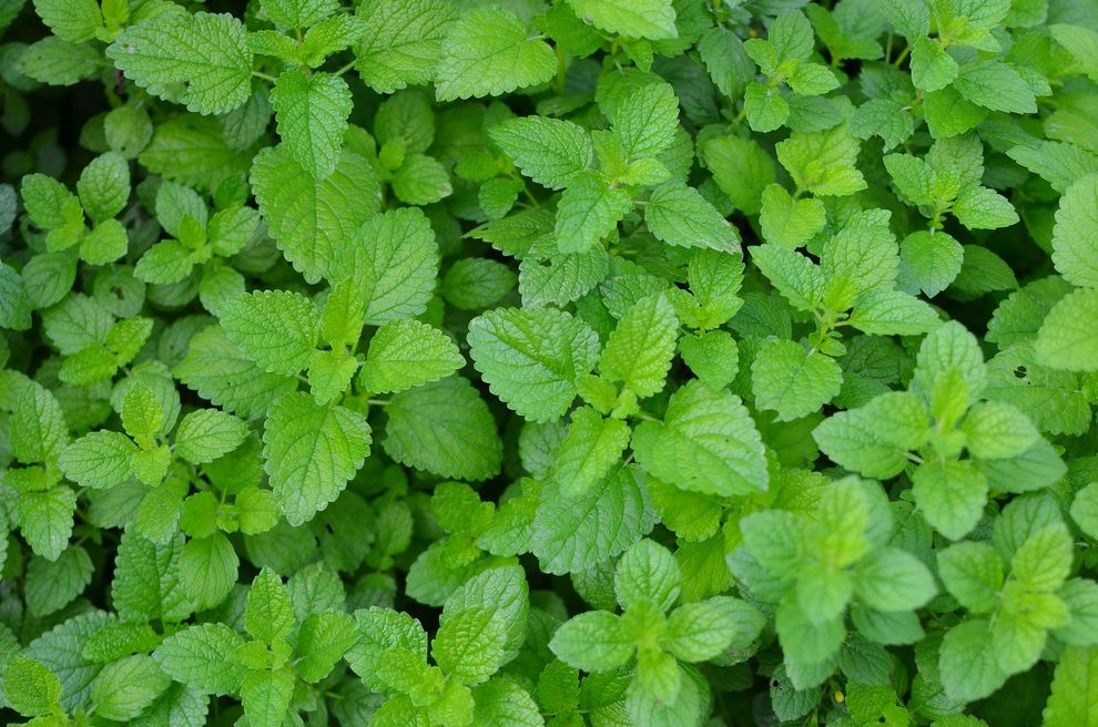 How to Get Rid of the Smell of Cigarettes   Traditional Landscape  and Herb Lemon Balm Tea