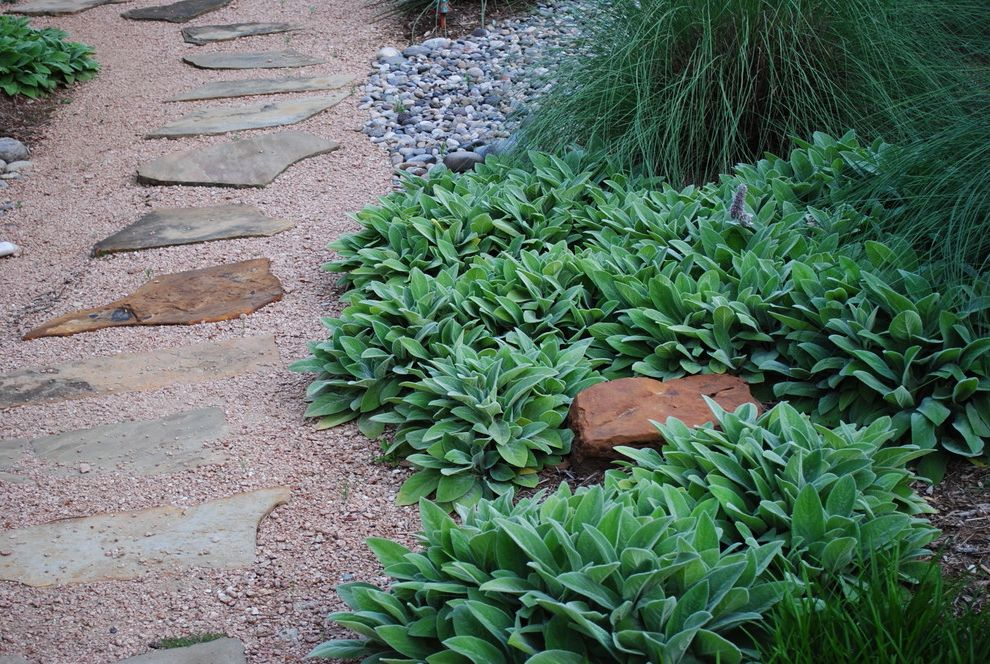 How to Grow Okra   Contemporary Landscape  and Decomposed Granite Designer Drip Irrigation Drought Tolerant Front Yard Lambs Ear Liriope Muhly River Rock Stepping Stone Texas Native Water Conserving Xeric Xericscape