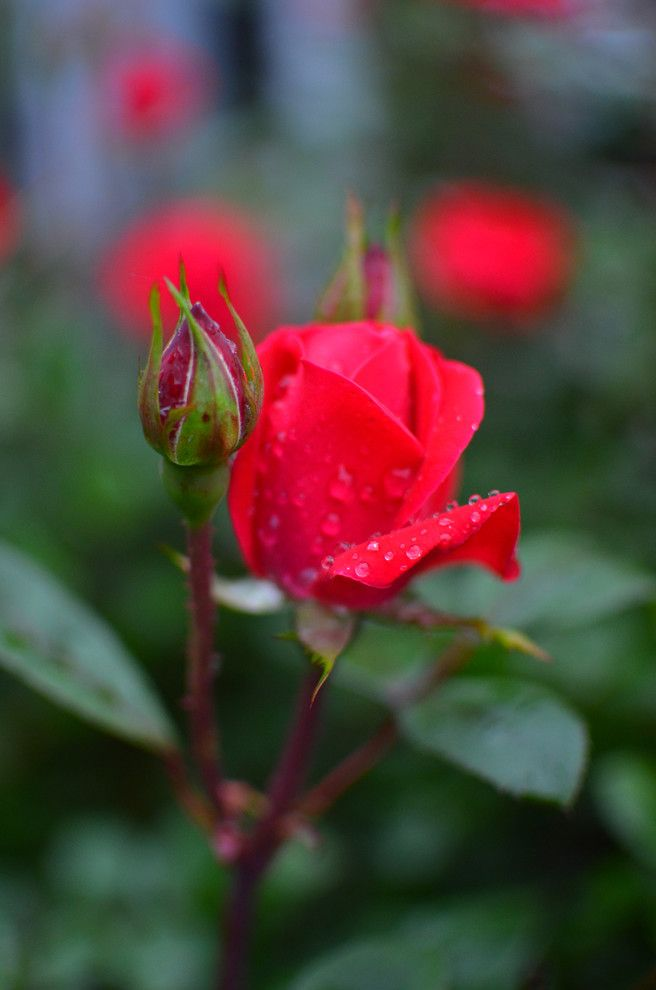 How to Prune Knockout Roses   Traditional Spaces  and Traditional