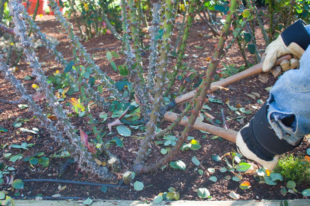 How to Prune Knockout Roses with  Spaces Also