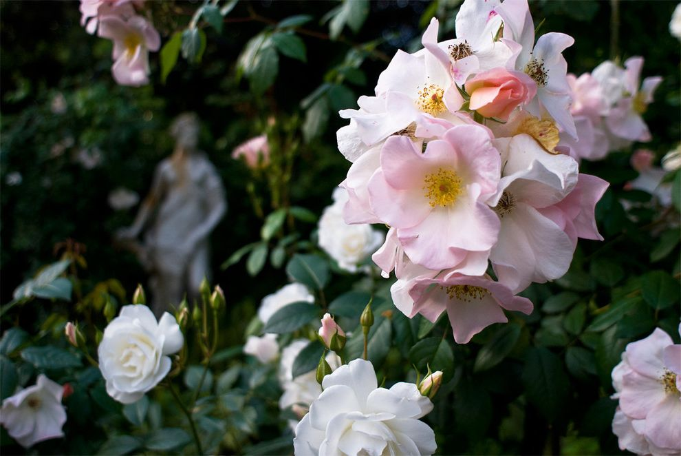 How to Prune Knockout Roses with Traditional Landscape  and Traditional