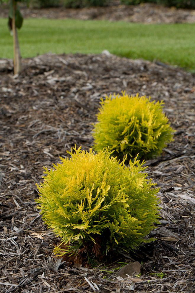 How Wide is a Full Size Mattress    Landscape  and Annas Magic Ball Arborvitae Conifer Evergreen Foliage Proven Winners Shrub