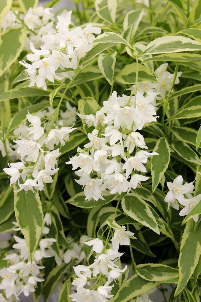 How Wide is a Full Size Mattress    Landscape  and Creme Fraiche Deutzia Proven Winners Shrub Variegated