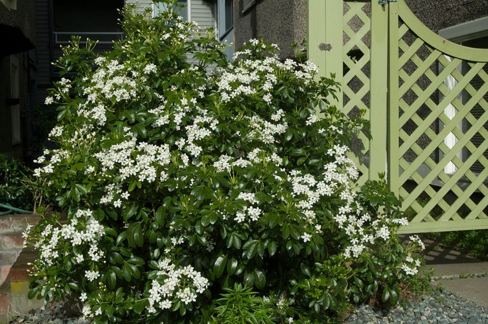 How Wide is a Full Size Mattress with  Spaces  and Choisya Evergreen Fragrant Flower Mexican Mockorange