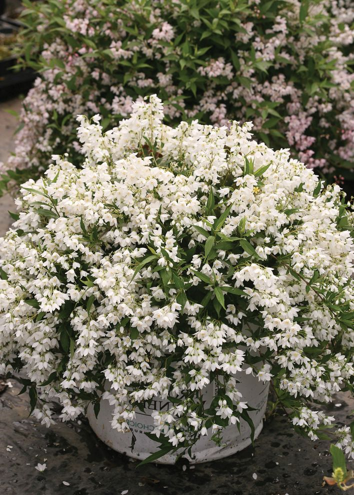 How Wide is a Full Size Mattress with Traditional Spaces  and Deciduous Deutzia Dwarf Flowers Landscape Proven Winners Shrub Small Space Yuki Snowflake Deutzia