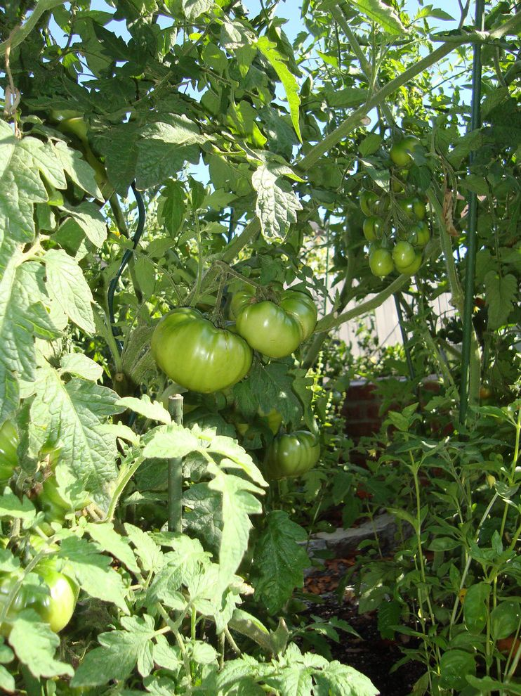 Just Sprinklers with Traditional Landscape Also Tomatoes