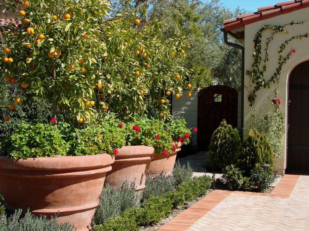 Large Flour Container   Mediterranean Landscape  and Brick Paving Citrus Trees Climbing Plants Container Plants Geraniums Lavender Mass Plantings Path Planters Potted Plants Terracotta Pots Vines Walkway