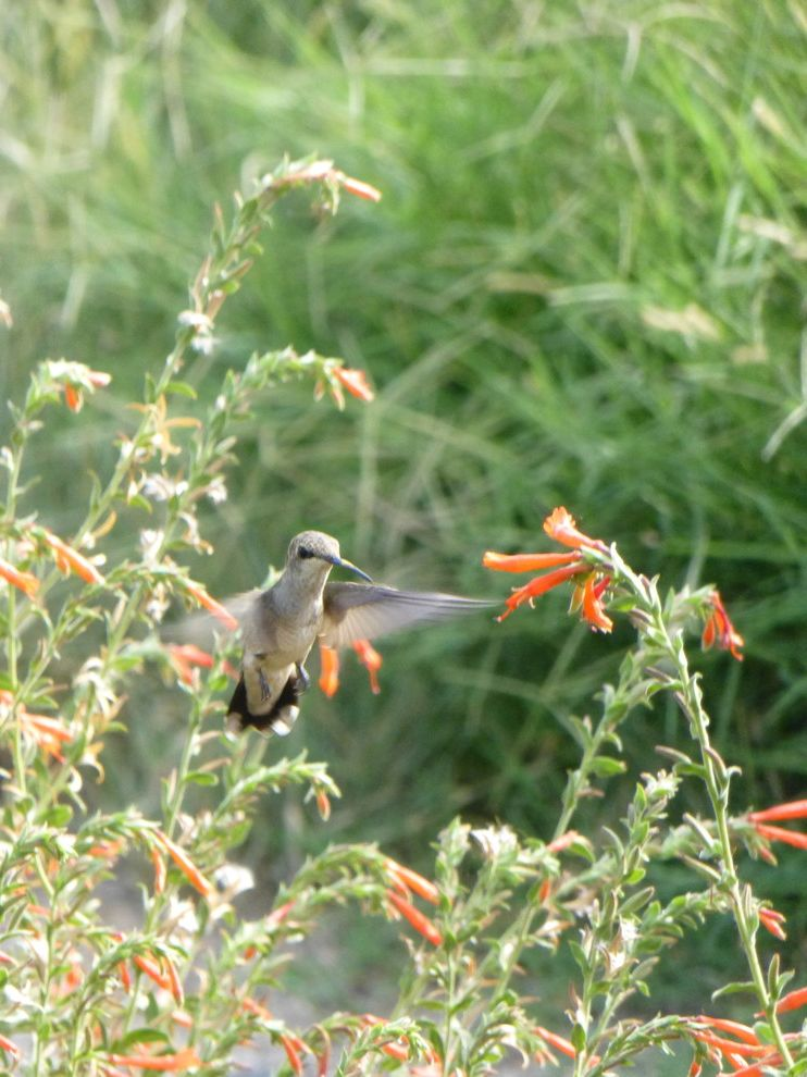 Lowes California Md   Eclectic Landscape Also Attracts Hummingbirds Colorful Hummingbird Trumpet Flower Xeric Zauchneria