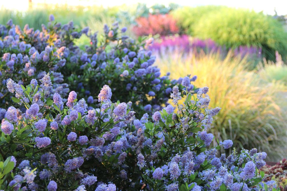 Lowes California Md with Contemporary Landscape Also Ceanothus