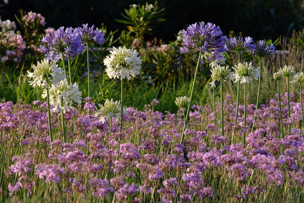 Lowes Greece Ny   Mediterranean Landscape  and Agapanthus Fields Greece Greek Mass Plantings Pink Flowers Purple Flowers White Flowers