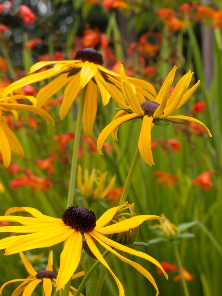 Lowes Greensboro Nc   Traditional Landscape Also Black Eyed Susan Rudbeckia Goldsturm
