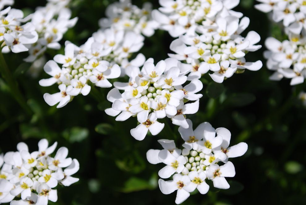 Lowes Kingwood   Traditional Landscape  and Candytuft Evergreen Iberis Sempervirens Perennial Spring White