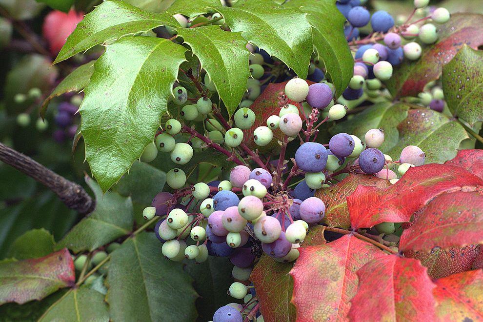 Lowes Medford Oregon    Landscape Also Birds California Native Plants Mahonia Aquifolium Native California Plants Syn Berberis Aquifolium Wildlife Habitat
