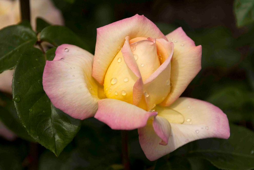 Lowes Niles Ohio   Traditional Landscape  and Bicolor Rose Easy Care Rose Pink Rose Rose