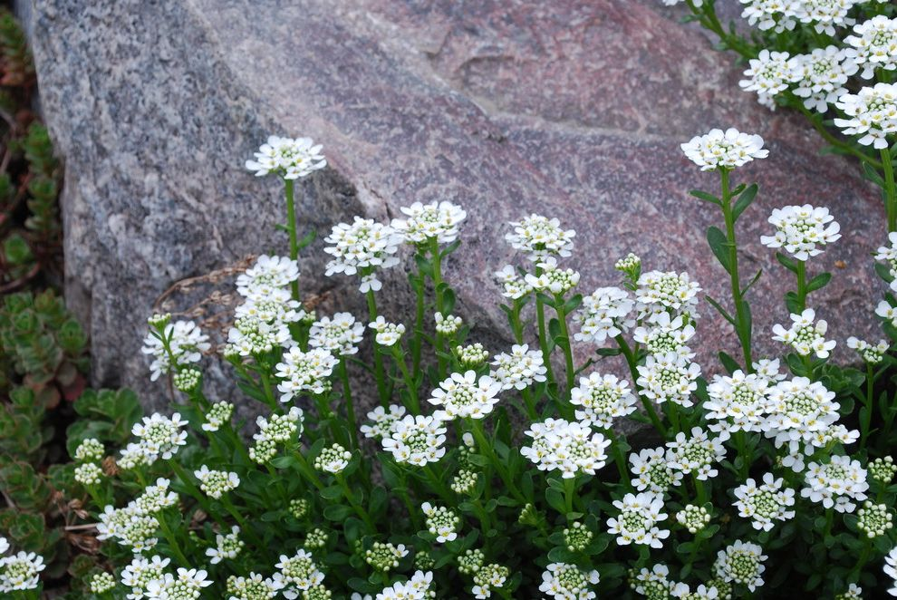 Lowes Pueblo Co with Traditional Landscape  and Candytuft Drought Tolerant Evergreen Full Sun Iberis Sempervirens Long Blooming Perennial Spring Blooming White Flowers