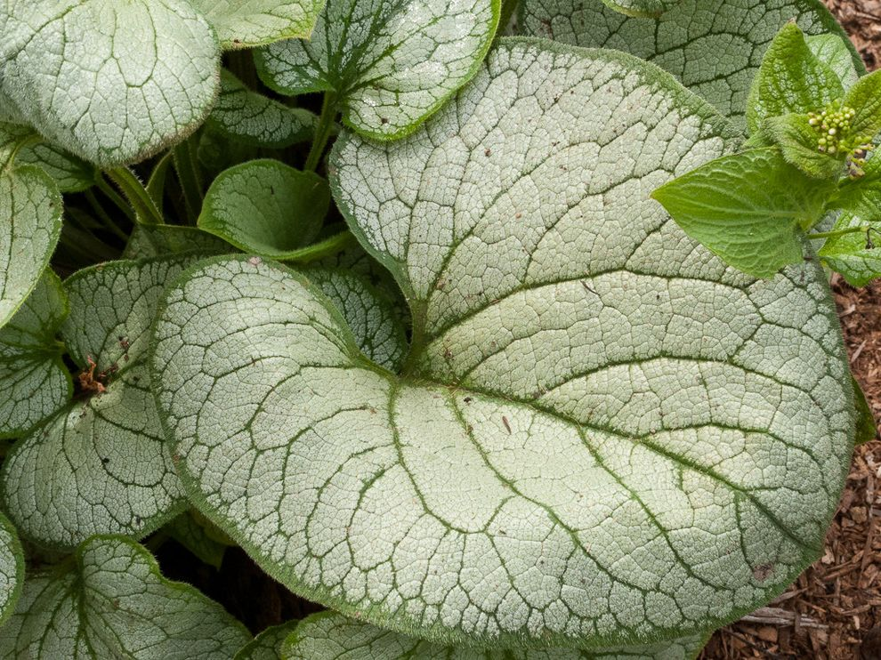Lowes Sioux Falls    Landscape  and Brunnera Foliage Perennial Silver Heart Bugloss Skagit Variegated