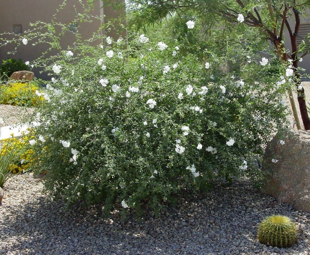 Lowes Sonora Ca with Southwestern Spaces  and California Cordia Parvifolia Desert Drought Tolerant Full Sun Little Leaf Cordia Reflected Heat Shrubs Southwest White Flowers