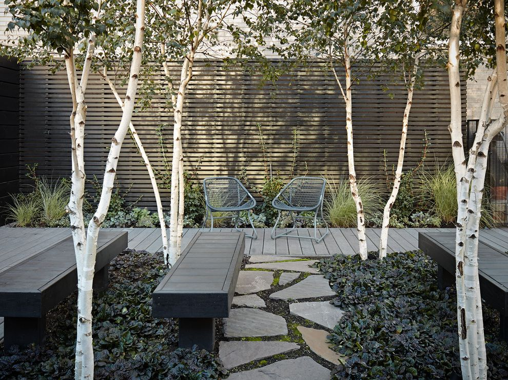 Privacy Fence Trees   Contemporary Deck  and Aspens Bench Seats Birch Trees Climbing Plants Flagstone Path Gray Deck Groundcover Landscaping Metal Chairs Rooftop Deck Wood Slat Privacy Fence