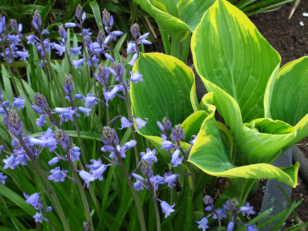 Purple Flowers Names   Traditional Landscape  and Bluebells Bulbs Combinations Hosta Sagae Perennials Spring
