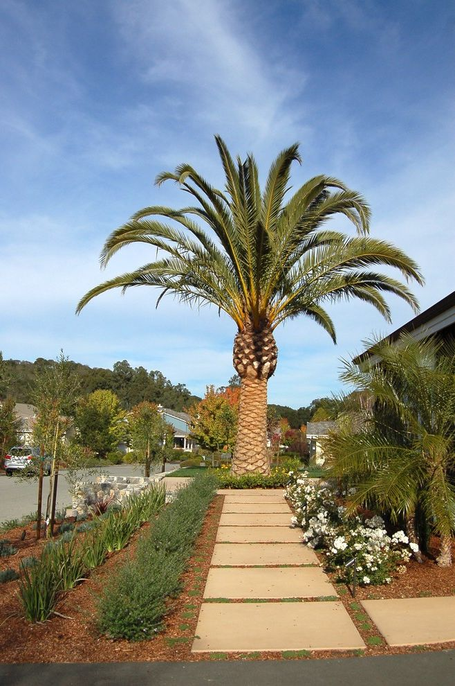 Sago Palm Care   Mediterranean Landscape  and Date Palm Mass Plantings Mulch Palm Tree Path Pavers Specimen Tree Walkway