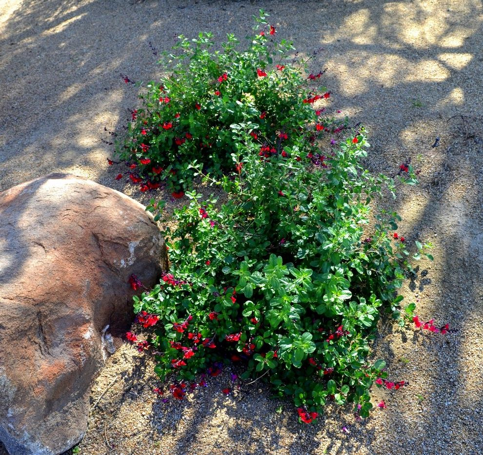 Texas Climate Zones   Southwestern Landscape  and Autumn Sage Butterflies Drought Tolerant Fall Blooming Hummingbirds Landscape Red Flowers Salvia Greggii Shrub Southwest Spring Summer