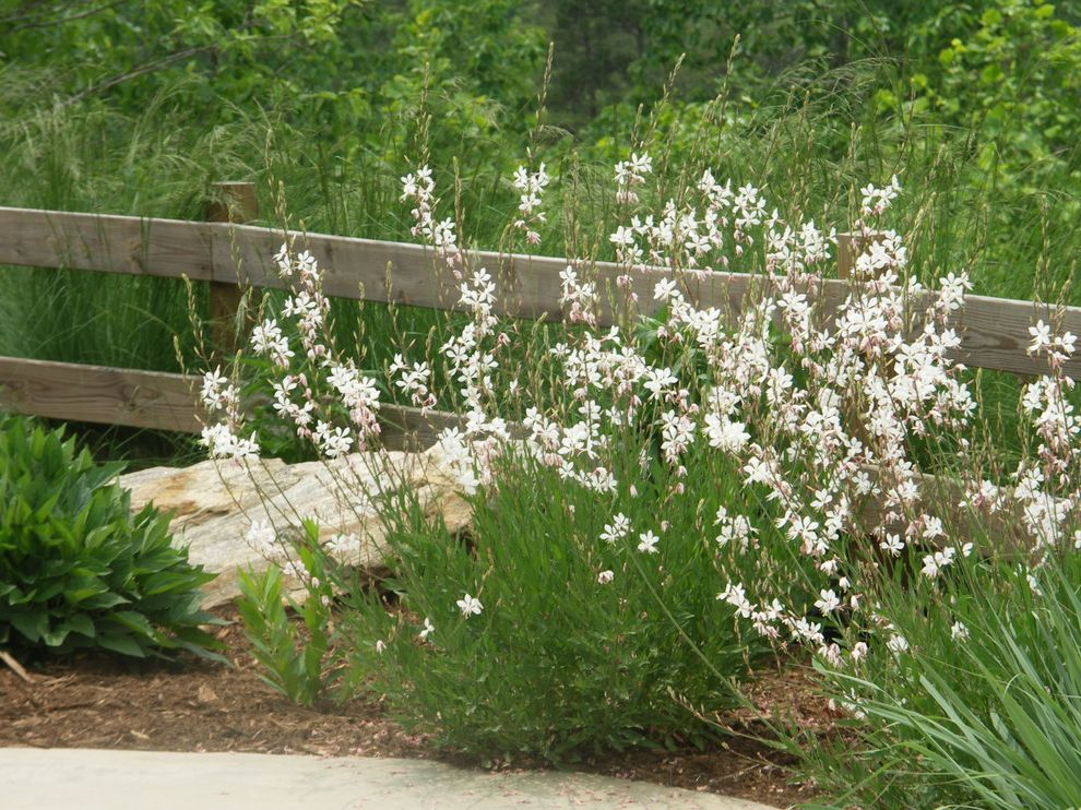Texas Climate Zones with Traditional Landscape  and Flowers Gaura Gaura Lindheimeri Native Plants Perennials South Carolina South Carolina Native Plants