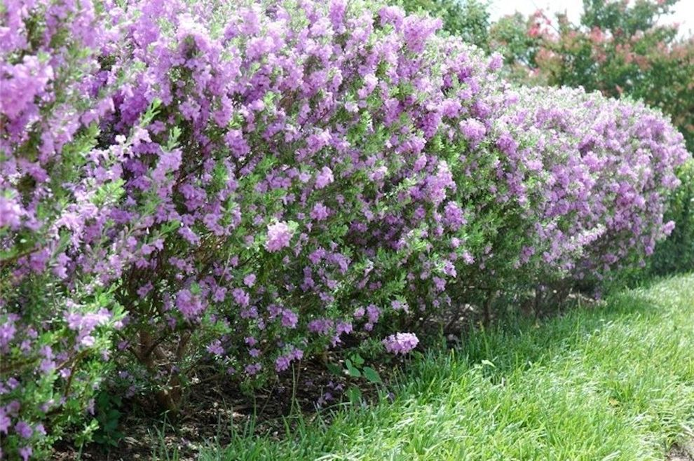 Texas Sage Shrub   Traditional Landscape Also Flowering Shrubs Purple Flowers Shrubs