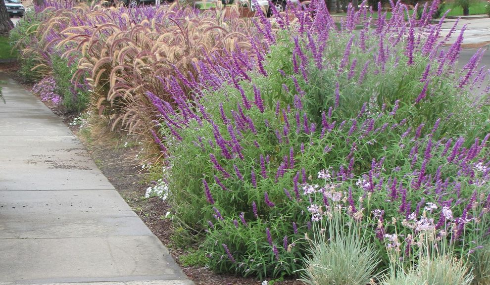 Texas Sage Shrub with  Landscape  and Cottage Garden Drip Irrigation Drought Tolerant Fountain Grass Habitat Hummingbird Low Maintenance No Lawn Ornamental Grass Parkway Perennial Salvia Water Wise