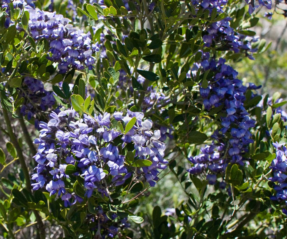 Texas Sage Shrub with  Spaces  And