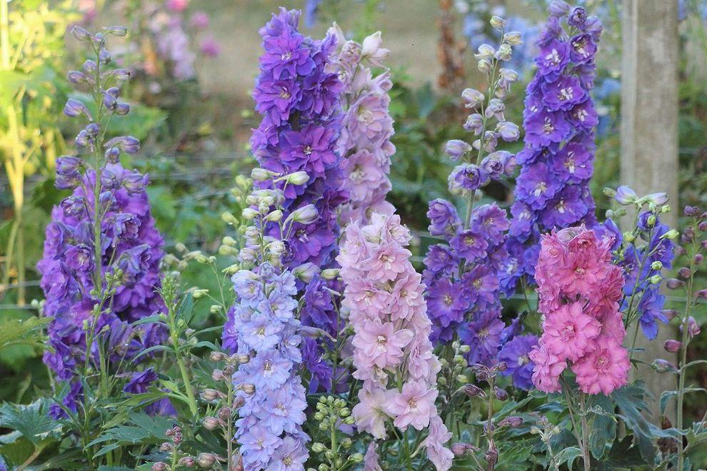 Walter Andersen Nursery with  Landscape Also Cottage Garden Dwarf Stars Delphinium English Garden Perennial