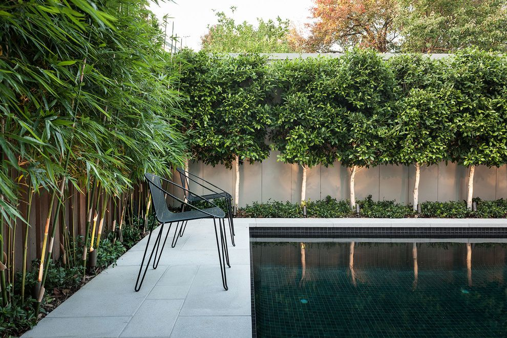 Bamboo Growth Rate   Contemporary Pool Also Accent Lighting Bamboo Black Outdoor Chair Black Patio Chair Black Tile Pool Bushes Concrete Patio Fence Night Lighting Pool Private Secluded Shrubs Trees