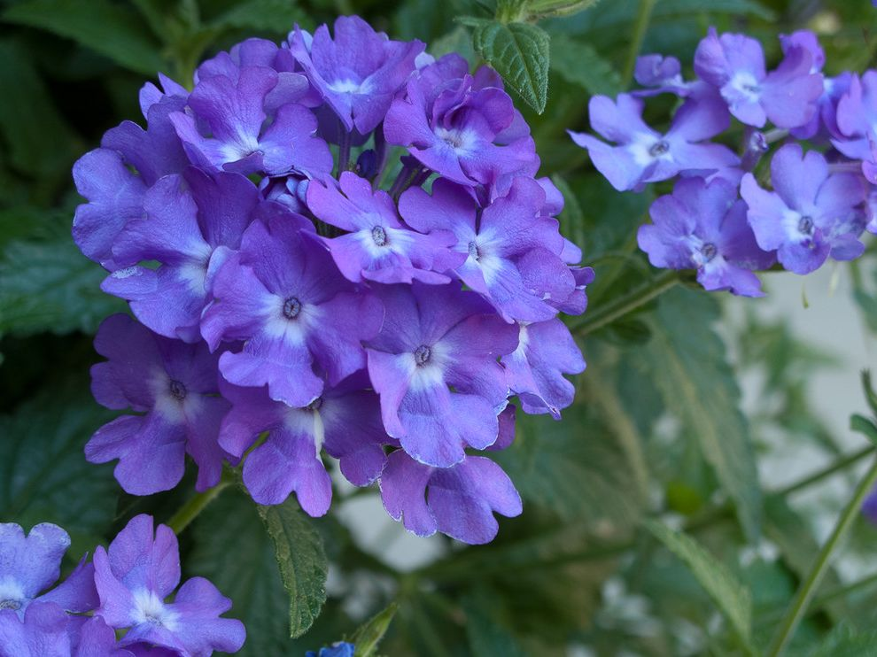 Four Seasons Heating and Cooling Ripoff    Landscape Also Annual Containers Proven Winners Superbena Violet Ice Verbena