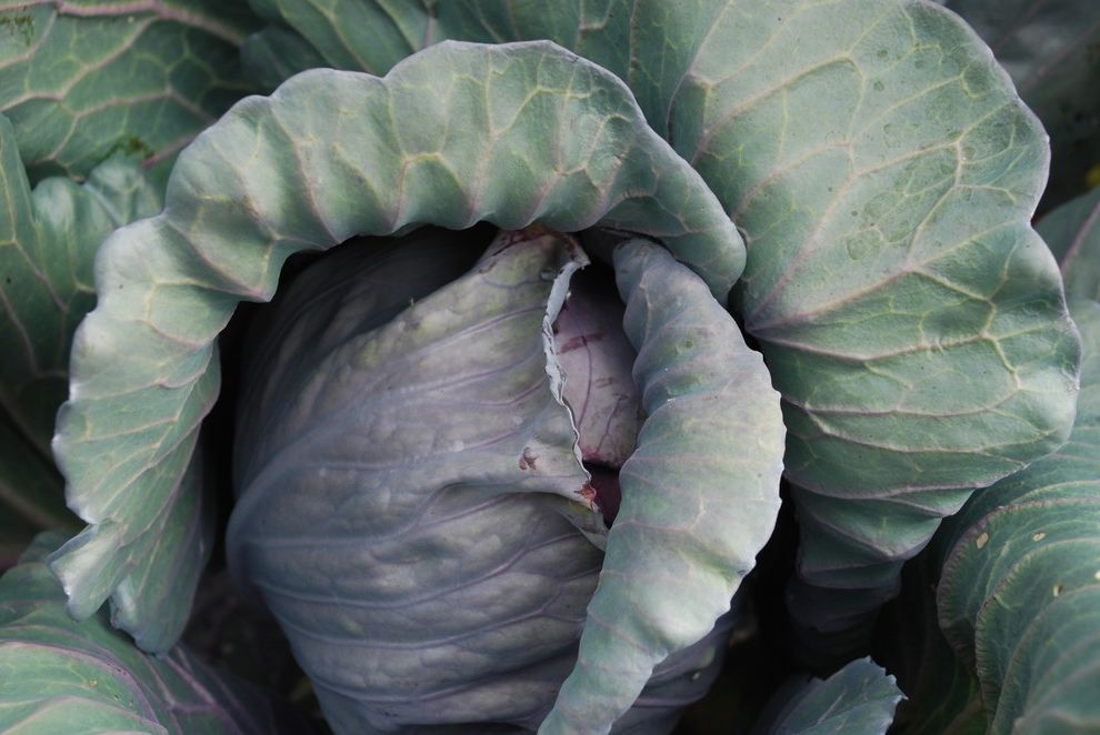 Four Seasons Heating and Cooling Ripoff    Landscape Also Cabbage Color Edible Texture Vegetable