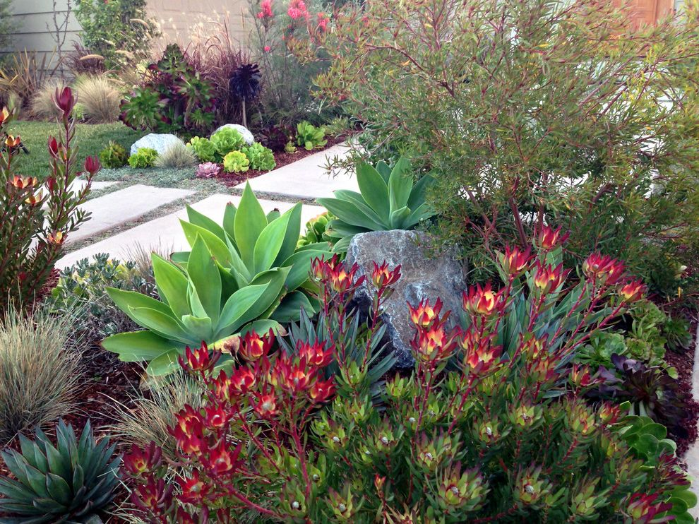 Red Lobster Chicago   Contemporary Landscape Also Agave Attenuata Blue Glow Agave Bushes Drought Tolerant Leucadendron Red Flowers Rock Landscape Shrubs South African Plants Stone Paver Pathway Stone Paver Walkway Stone Pavers Succulents