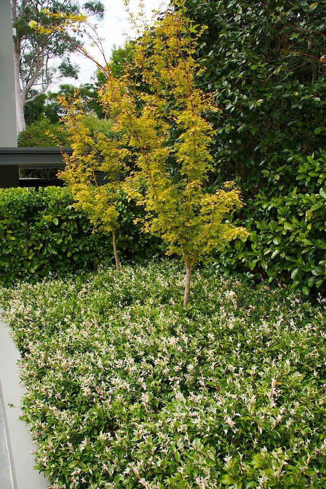 All Star Limo   Traditional Landscape  and Acer Garden Groundcover Japanese Jasmine Maple Palmatum Senkaki Tree Tricolour