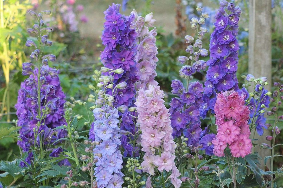 All Star Limo with  Landscape  and Cottage Garden Dwarf Stars Delphinium English Garden Perennial