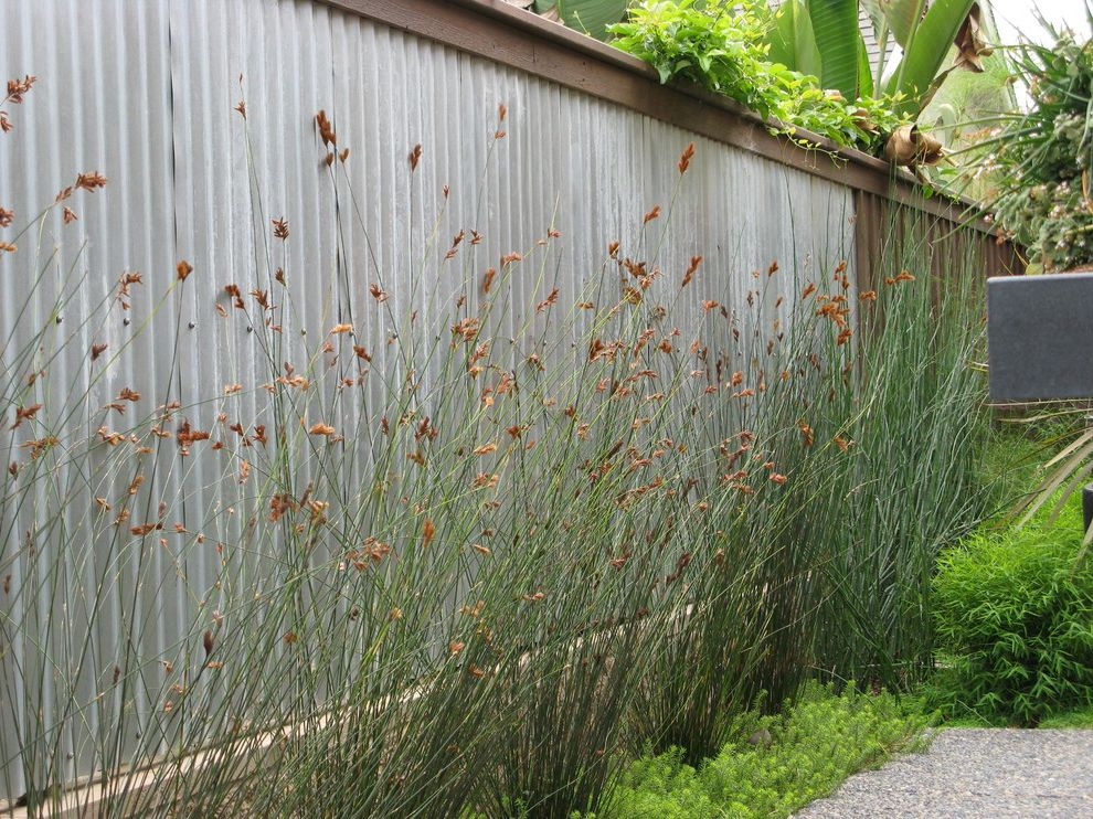 Do Male Cats Spray   Contemporary Landscape  and Border Plantings Corrugated Metal Fence Galvanized Metal Fence Grasses Metal Fencing