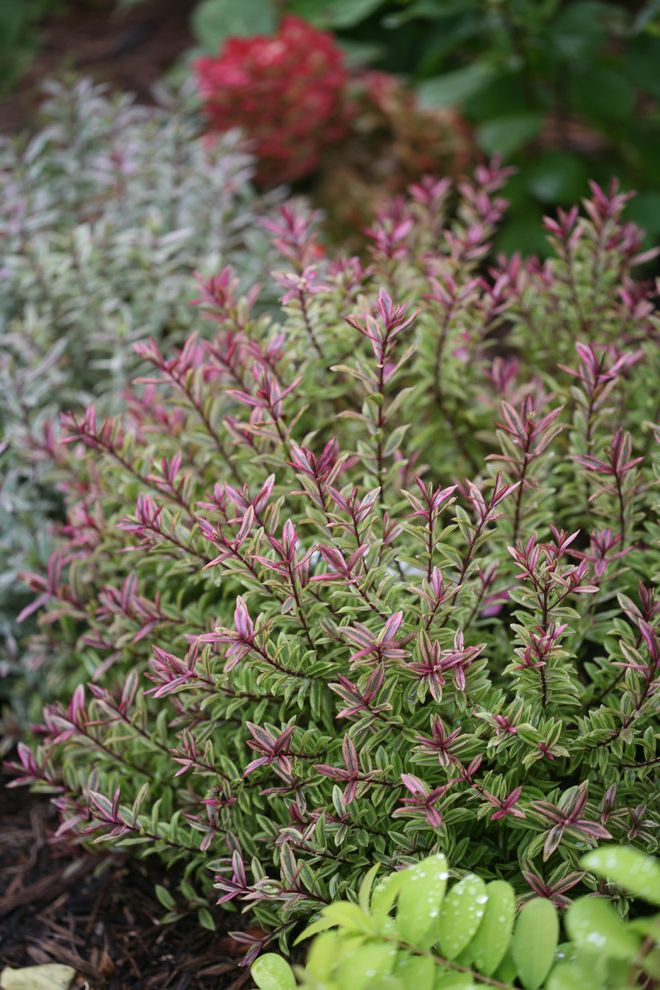 Lowes Twin Falls with  Landscape  and Evergreen Foliage Proven Winners Shrubs Variegated Wild Romance Hebe
