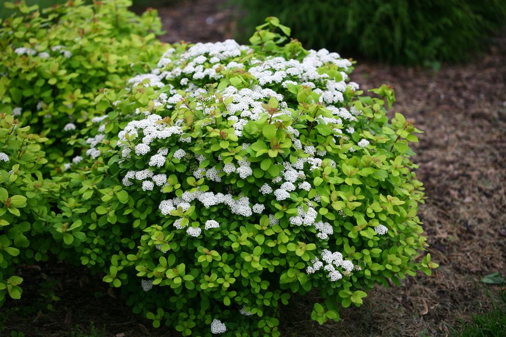 Lowes Twin Falls with  Landscape  and Glow Girl Spirea Proven Winners Shrub Spirea