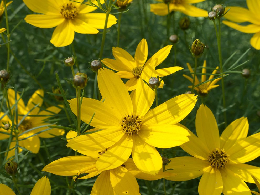Lowes Twin Falls with Rustic Landscape Also Coreopsis Zagreb Tickseed