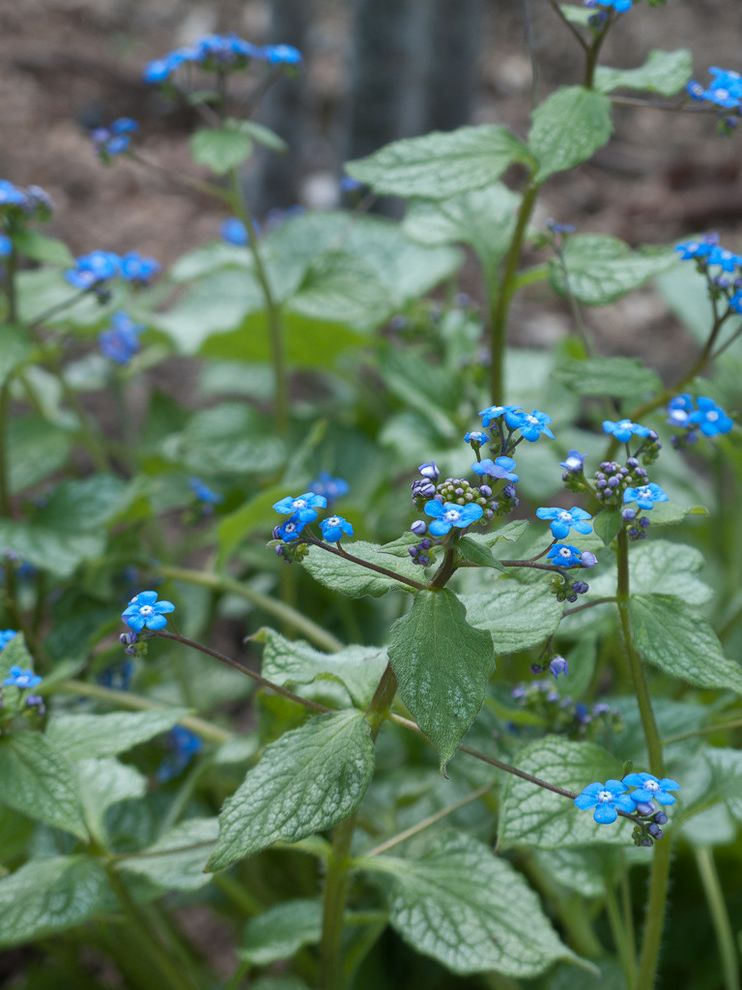 Lowes Twin Falls with Traditional Landscape  and Blue Brunnera Macrophylla Jack Frost Bugbane Foliage Perennial Silver