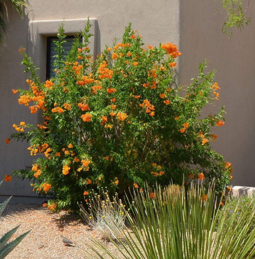 Esperanza Plant with Southwestern Landscape Also Orange Jubilee Tecoma Alata